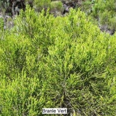 Branle Vert